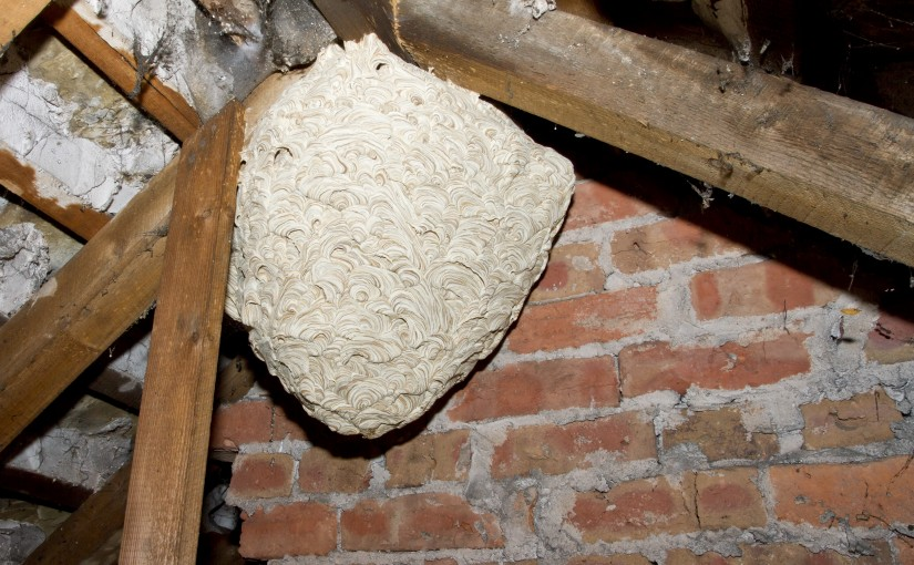 Wasp Nest In Eaves